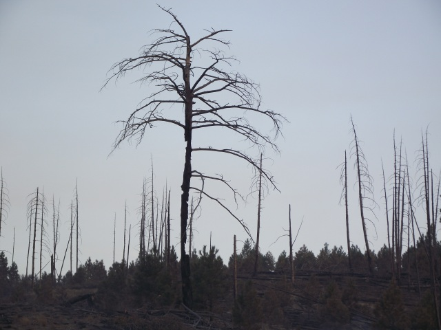 Photo of a burned tree on the Byrd Canyon Fire taken by Paul Flynn Credit: USDA-Forest Service